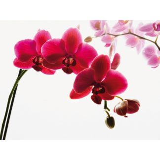 - Up and Down Fototapeta Orchidej